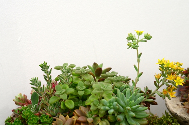 plantas_suculentas_helena_prata